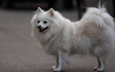 如何饲养日本狐狸犬
